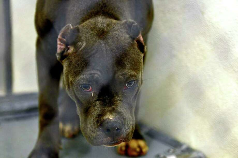 One of the pitbulls seized in Troy, now at the Mohawk & Hudson River Humane Society, in Menands, on  Wednesday.  ( Philip Kamrass / Times Union ) Photo: Philip Kamrass
