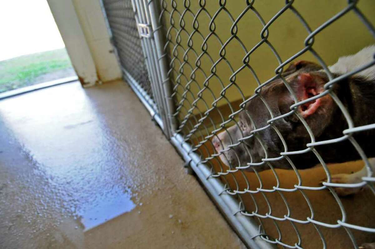 One of the pitbulls seized in Troy, with damaged ears, now at the Mohawk & Hudson River Humane Society, in Menands, on Wednesday. ( Philip Kamrass / Times Union )