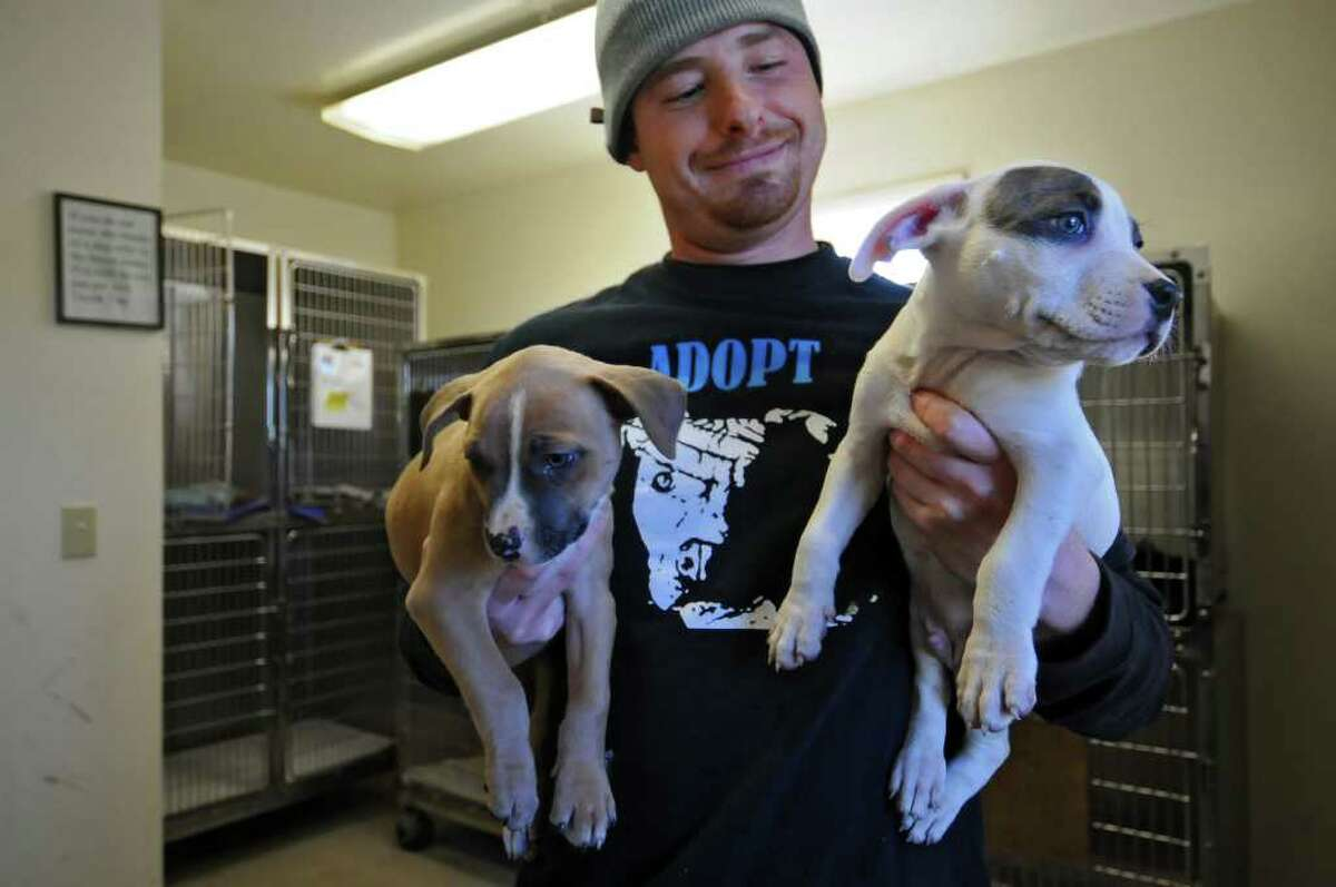 Animal care manager Jim Bedford holds pitbull puppies seized in Troy, now at the Mohawk & Hudson River Humane Society, in Menands, NY on Wednesday. ( Philip Kamrass / Times Union )