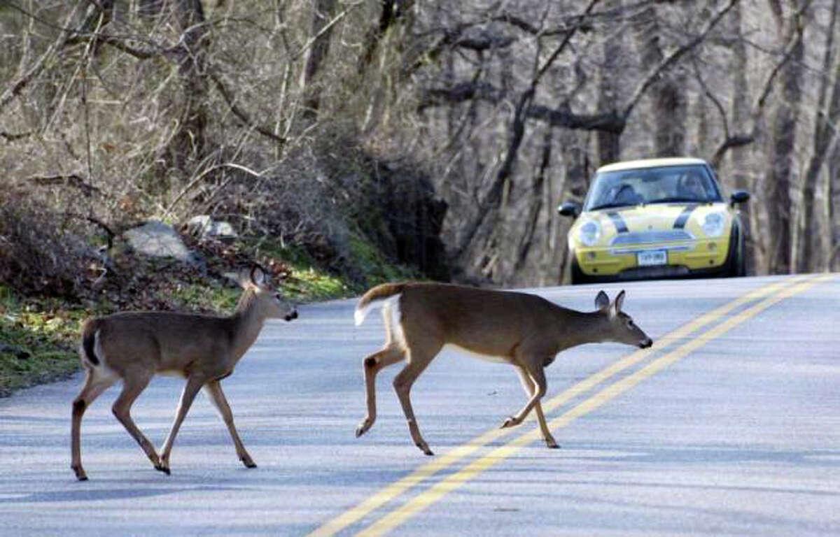 Deer scamper across a Stamford street in front of traffic.