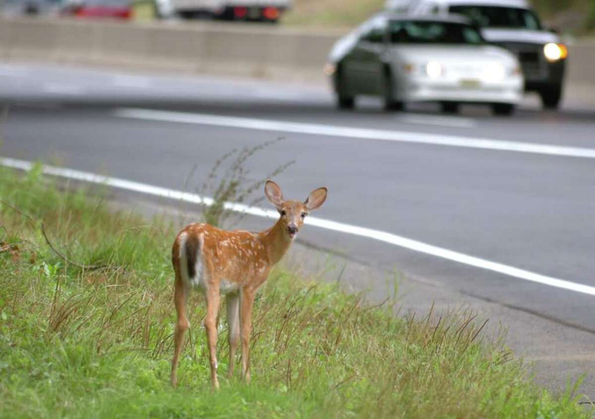 A young deer looks up from eating grass on the shoulder of northbound lane of I-95 near exit 5 in Old Greenwich, Tuesday afternoon, August 24, 2010. 8/26/10 GT photo (chopped) = $15.2M In Damage. Study: Deer cost taxpayers in pocket. by Frank MacEachern & Ken Dixon