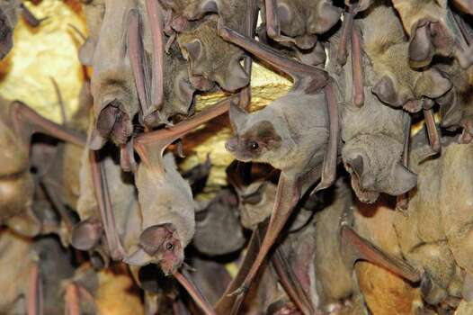 Beware The Bats Are Back In Town San Antonio Express News