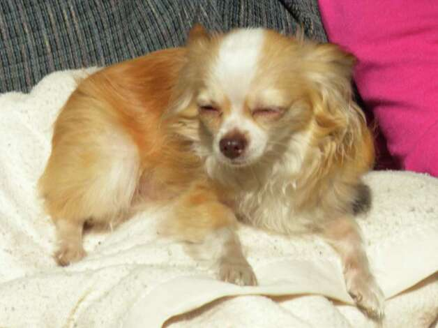 Calvin, the 3-year-old Chihuahua allegedly killed by Justin Taylor of Ballston Spa.