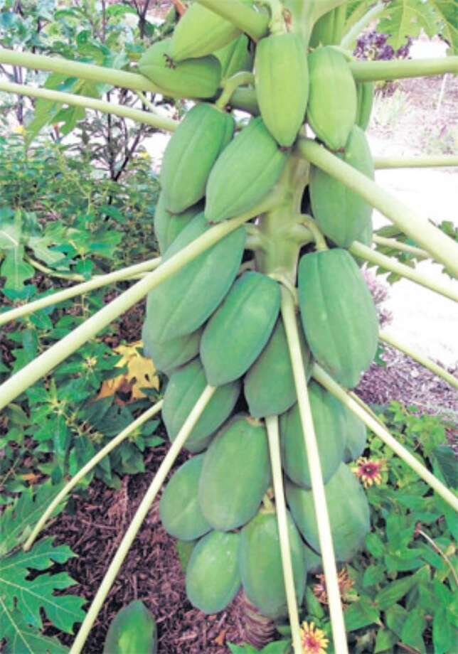 Plant the small black seeds from the center of a papaya and the tree will produce fruit.