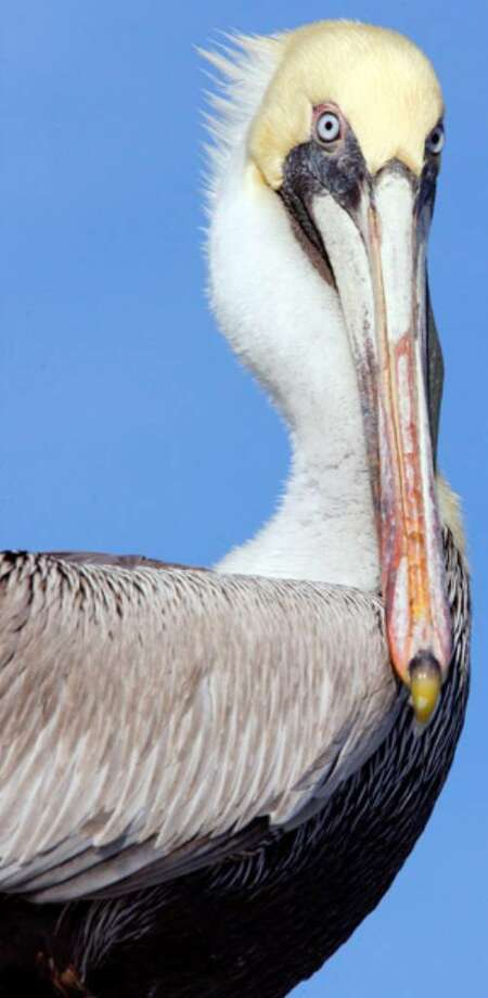A brown pelican sits in the Laguna Madre in Corpus Christi.
