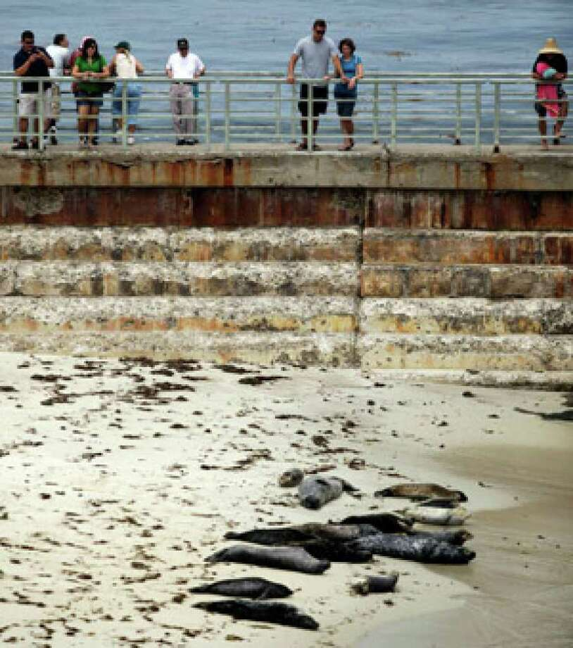 Vacationers and locals gather to watch harbor seals lounge on the beach where they have gathered for years in the La Jolla section of San Diego this summer.