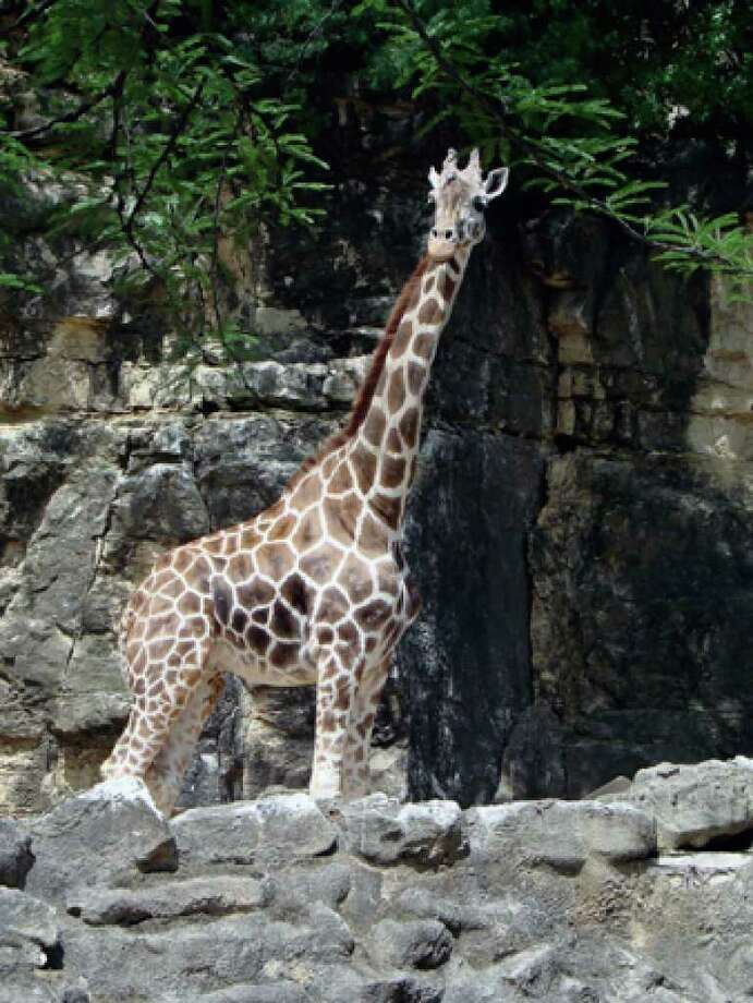Daisy, the San Antonio Zoo's giraffe, died of old-age symptoms on Aug. 13.