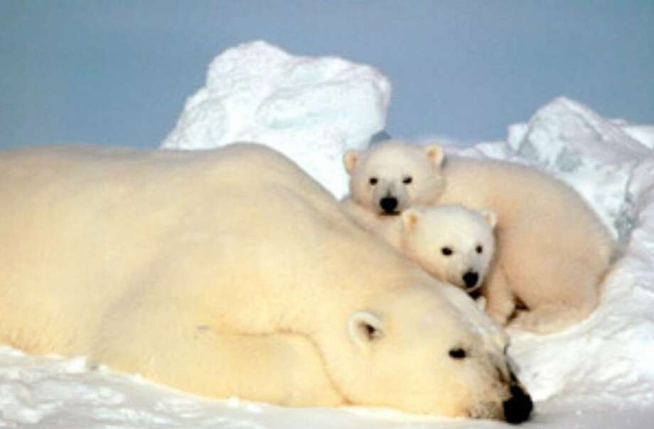 A sow polar bear rests with her cubs on the pack ice in the Beaufort Sea in northern Alaska.