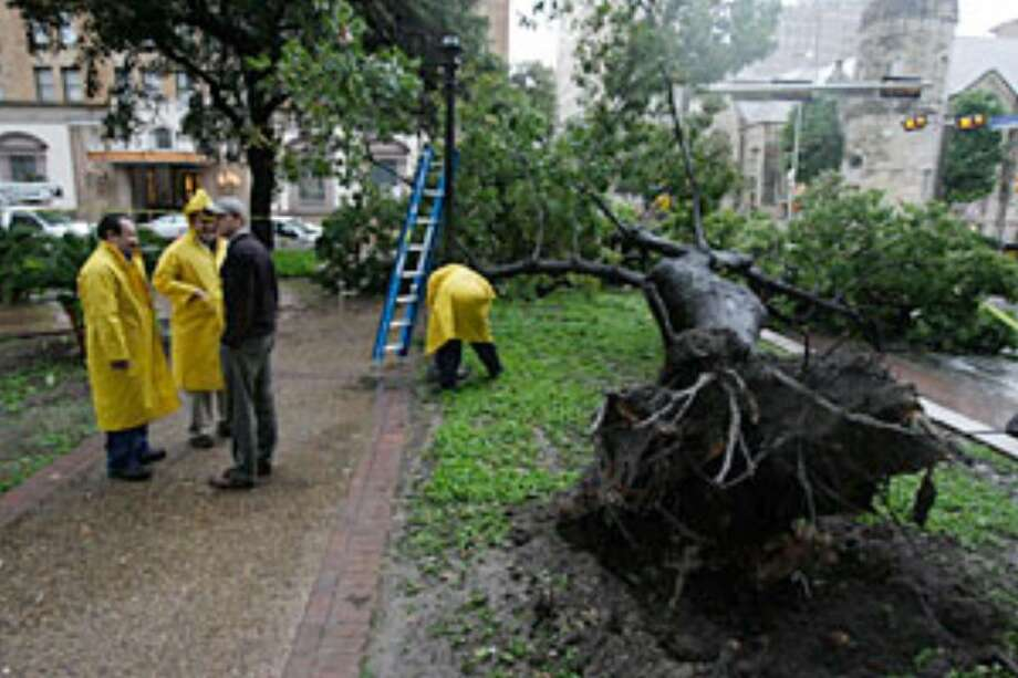 A red oak toppled at Travis Park after heavy rains hit the San Antonio area.