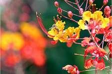 A bee pollinates a Pride of Barbados.
