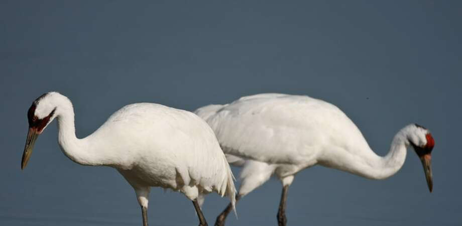 Whooping cranes, one male and one female, searched for food last March at the Aransas National Wildlife Refuge. As many as 290 are expected to return to Texas by Christmas.