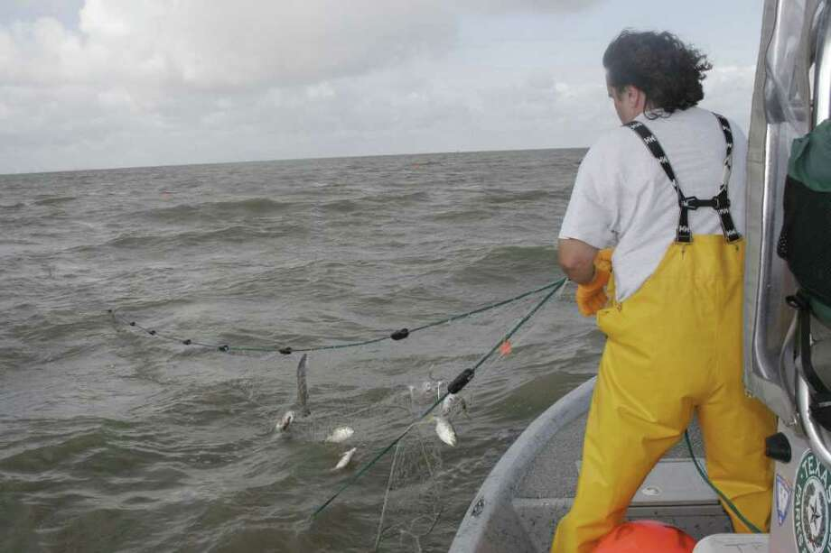 Data gathered through standardized gill net surveys by Texas coastal fisheries managers support what many anglers say they have seen: abundance of speckled trout in West Matagorda, San Antonio and Aransas bays have sharply declined over the past several years. Shannon Tompkins/Houston Chronicle Photo: Shannon Tompkins / Beaumont