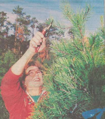 """Dorothy Brown, owner of the Original Christmas Tree Farm in Orange, works on the top of one of her few remaining 12-foot, homegrown trees. Brown has stopped replanting with an eye toward retiring in four years."" File photo Dec. 13, 1992"
