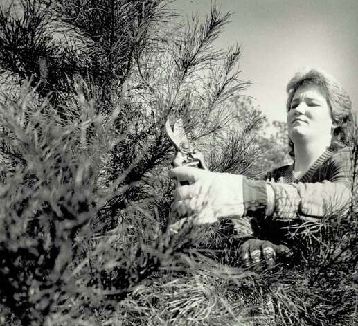 """Kay Thierheimer, 18, prunes a three-year-old Virginia pine on her parents' farm."" File photo Dec. 24, 1985"