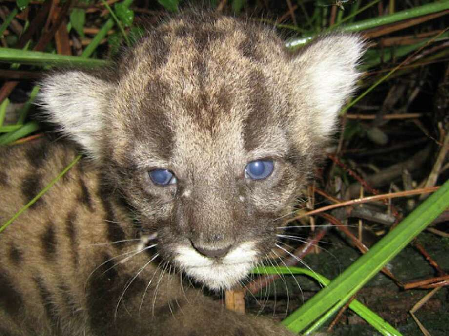 This July 2009 handout photo provided by the journal Science shows a three-week old Florida panther kitten in the Picayune Strand State Forest. Imported wild panthers from Texas have helped boost Florida's panther population and left a group of cats who are genetically hardier.