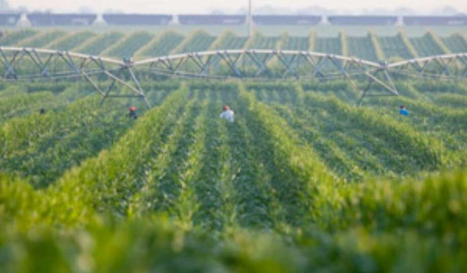 Corn detasslers work a field by an irrigation pivot in Goehner, Neb. in July. Fears over proposed measures to address global warming are leaving some farmers, ranchers and others tied to agriculture hot under the collar.