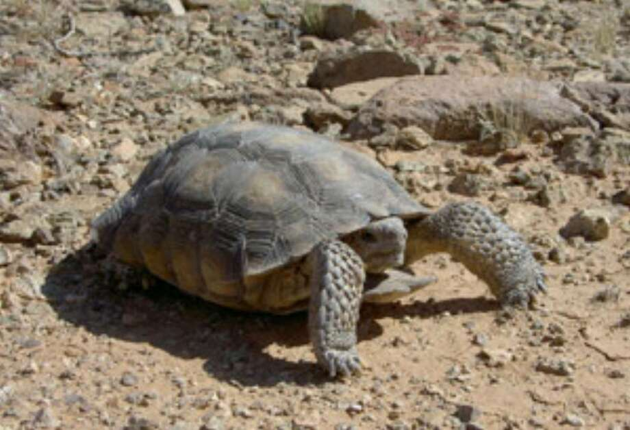 The federal government has agreed to consider whether the Sonoran desert tortoise, whose population has declined by half in the past 20 years, warrants protection under the Endangered Species Act.