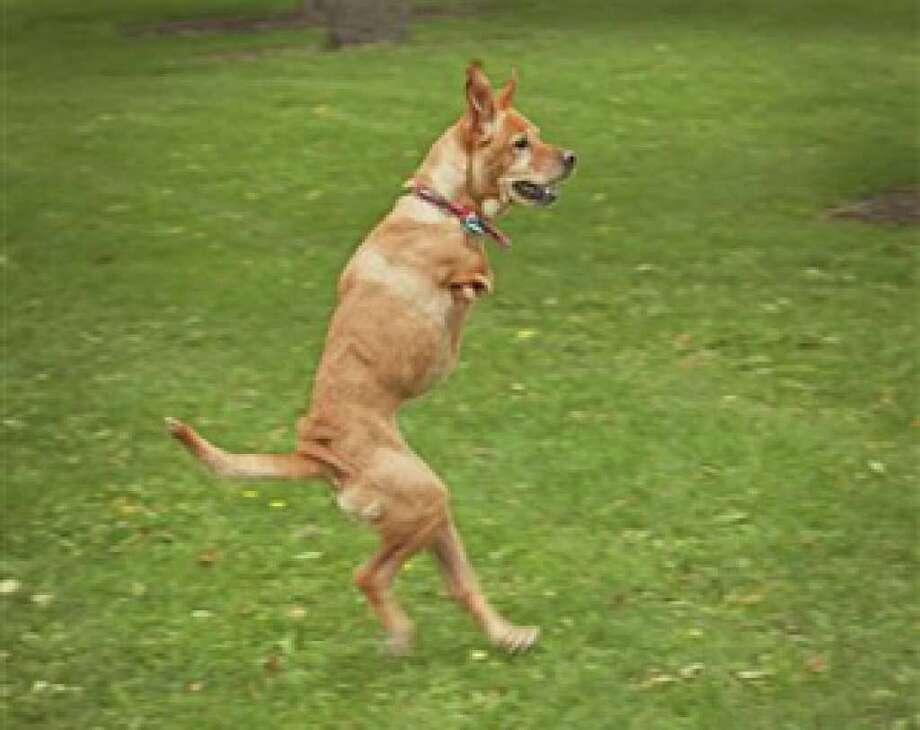 Faith the two-legged dog runs in the park.