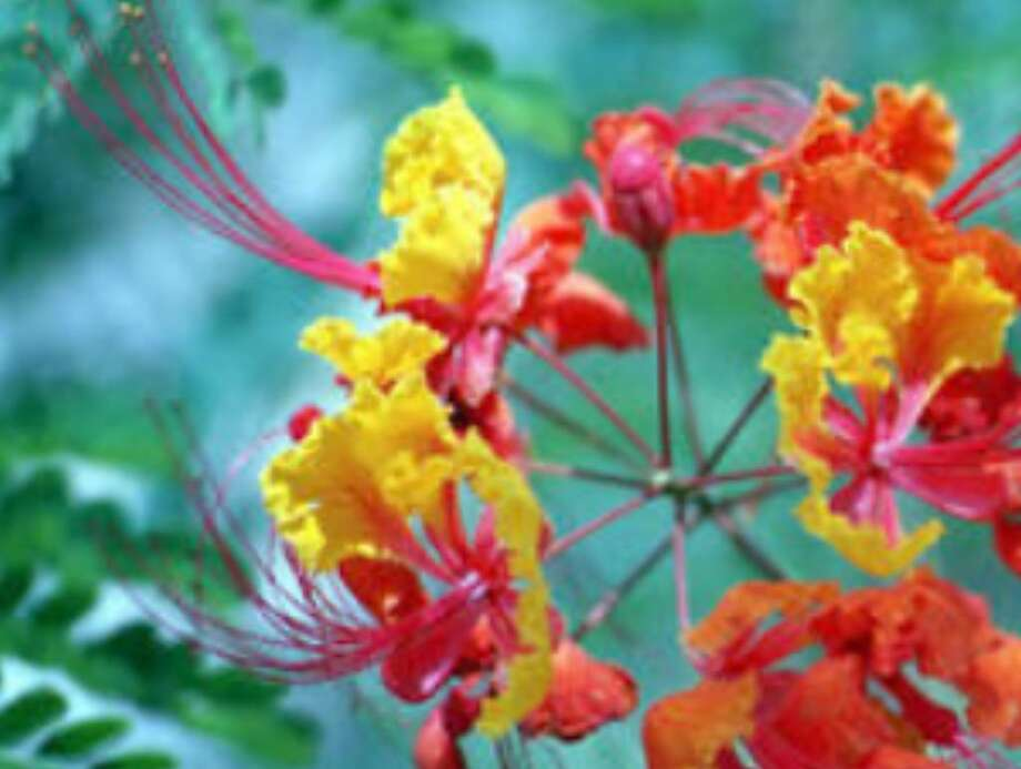 """Pride of Barbados"" grows back to seven to eight feet tall and sends yellow and orange blooms out above the airy foliage. It is drought hardy."