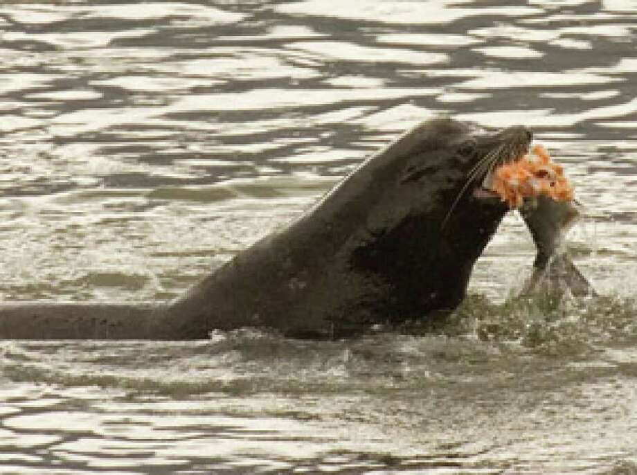 A sea lion eats a salmon in the Columbia River near Bonneville Dam in North Bonneville, Wash.