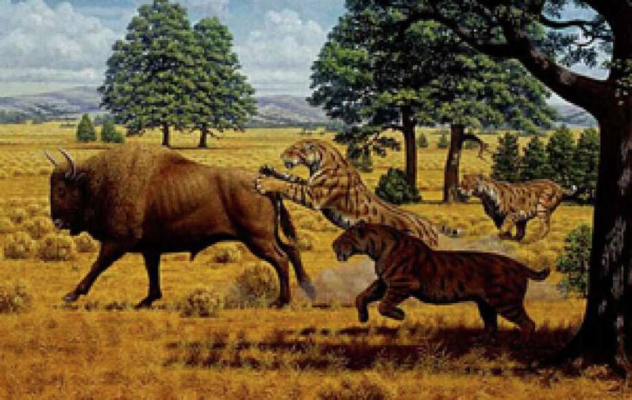 A reconstructed scene in the Pleistocene of western North America, showing a group of three sabertooth cats (Smilodon fatalis). The species went extinct soon after humans arrived on the continent 13,000 years ago.