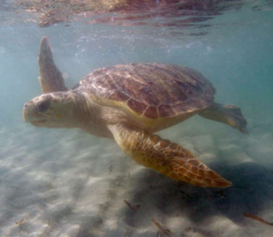 A loggerhead sea turtle swims to open water after workers from Miami Seaquarium released it Nov. 21, 2006, at Bill Baggs Cape Florida State Park in Key Biscayne, Fla. The latest federal report says most groups of the ancient reptile are at risk of extinction.