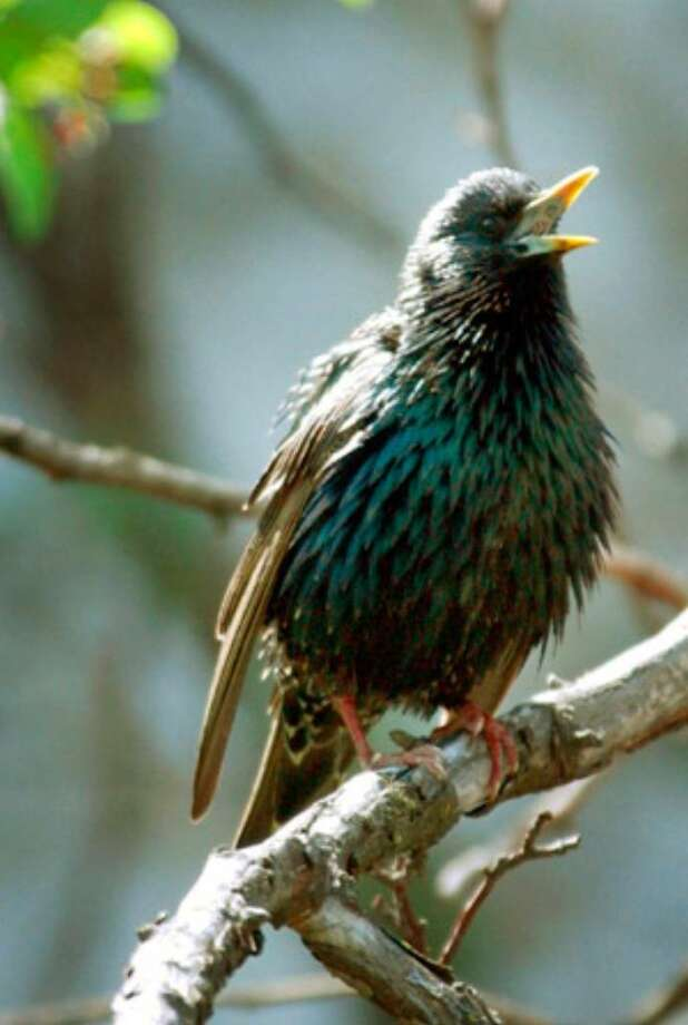 This undated photo provided by the University of California at San Diego shows a starling sitting in a tree.
