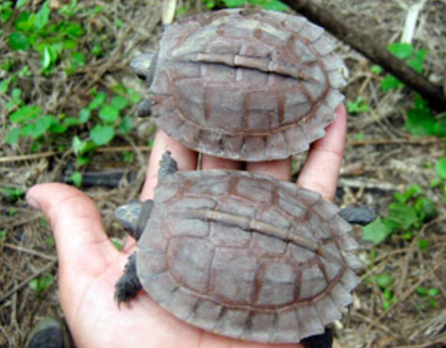 In this 2009 photo released by the Wildlife Conservation Society, juvenile Arakan Forest turtles are observed in the wild in Myanmar by a team of scientists led by the Wildlife Conservation Society.