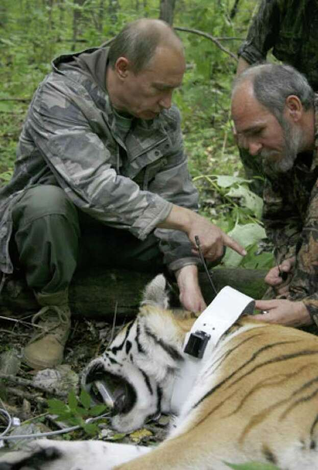 Vladimir Putin holds a head of the tranquilized five-year-old Ussuri tiger as a researcher puts a collar with a satellite tracker on the animal in a Russian Academy of Sciences reserve in Russia's Far East.