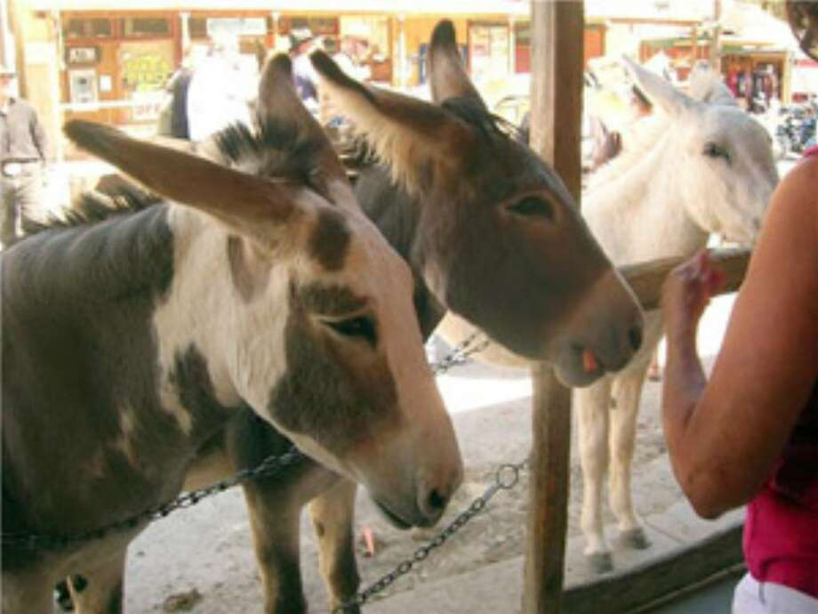 Burros lined up outside a store front in Oatman, Ariz., are fed carrots by a passer-by in this October 2008 photo. The U.S. Bureau of Land Management is asking tourists to stop feeding the burros because they are overweight.