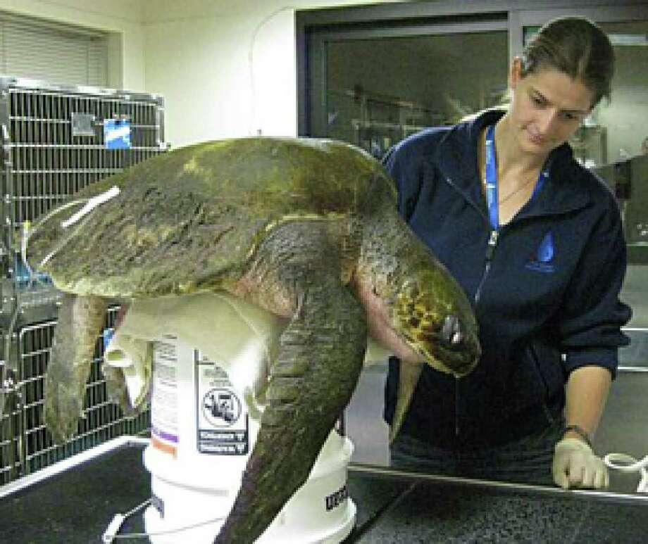 This endangered giant sea turtle rarely found north of Mexico was first spotted Nov. 25 in the Sea Drift area of the beach. The 60-pound female was stabilized at the Marine Mammal Center in the Marin Headlands.
