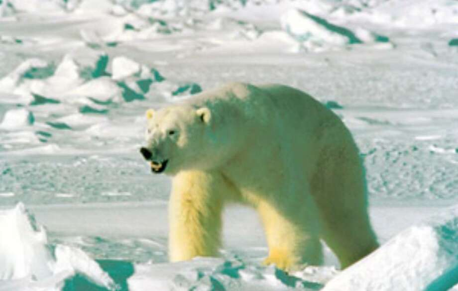 "The Obama administration is setting aside 200,000 square miles in Alaska and off its coast as ""critical habitat"" for polar bears, an action that could add restrictions to future offshore drilling for oil and gas."