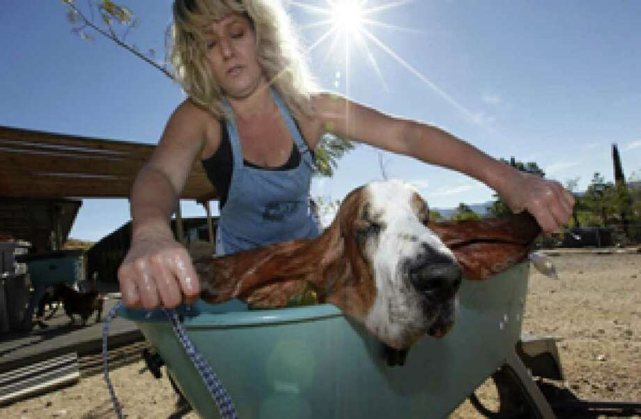 Volunteer Denise Kiss rings out Bodie's ears after a bath at Daphneyland, a basset hound rescue in Acton, Calif. The recession made no distinction and hit rescues and shelters in states like California, Texas, Florida, Nevada and Arizona hardest because those were the places where the real estate boom busted the loudest.  Donations at Daphneyland, the nation's largest basset rescue, are down 40 percent, the rescue is full, volunteers have had to quit to take a second or third job or move out of the area to find work and bills keep going up.