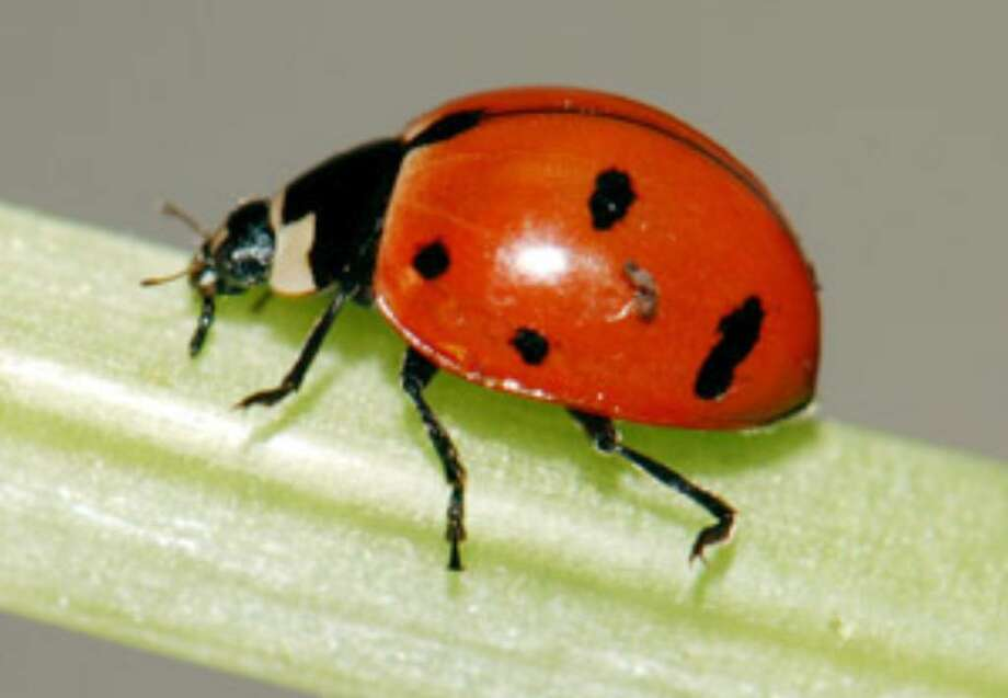 A nine-spotted ladybug is seen in a lab at Cornell University in Ithaca, N.Y.