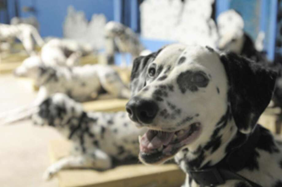 "Bella is one of the many dogs set to star in the national tour of ""The 101 Dalmatians Musical."""