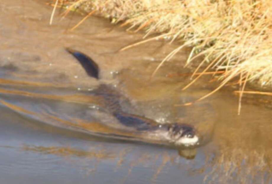 A river otter from Washington state swims in the Rio Pueblo de Taos near Taos, N.M., after being released as part of a reintroduction effort on Friday.