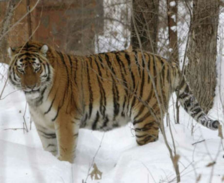 Lutiy, an endangered Amur tiger, roams in his cage at the Wild Animals Rehabilitation Center in Sikhote-Alin, a mountain range in the Russian Far East in 2005.