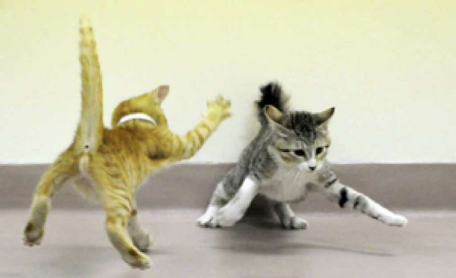 Kittens learn to socialize and play with other cats during a kitten kindergarten class at the Houston SPCA.