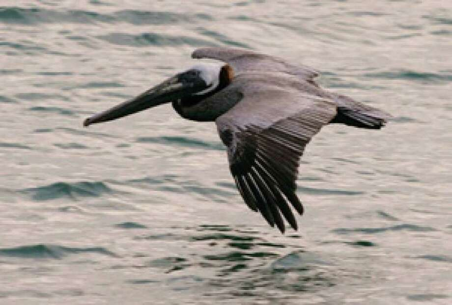 An American Brown Pelican skims the water as it searches for fish in Miami Beach, Fla., in 2007.