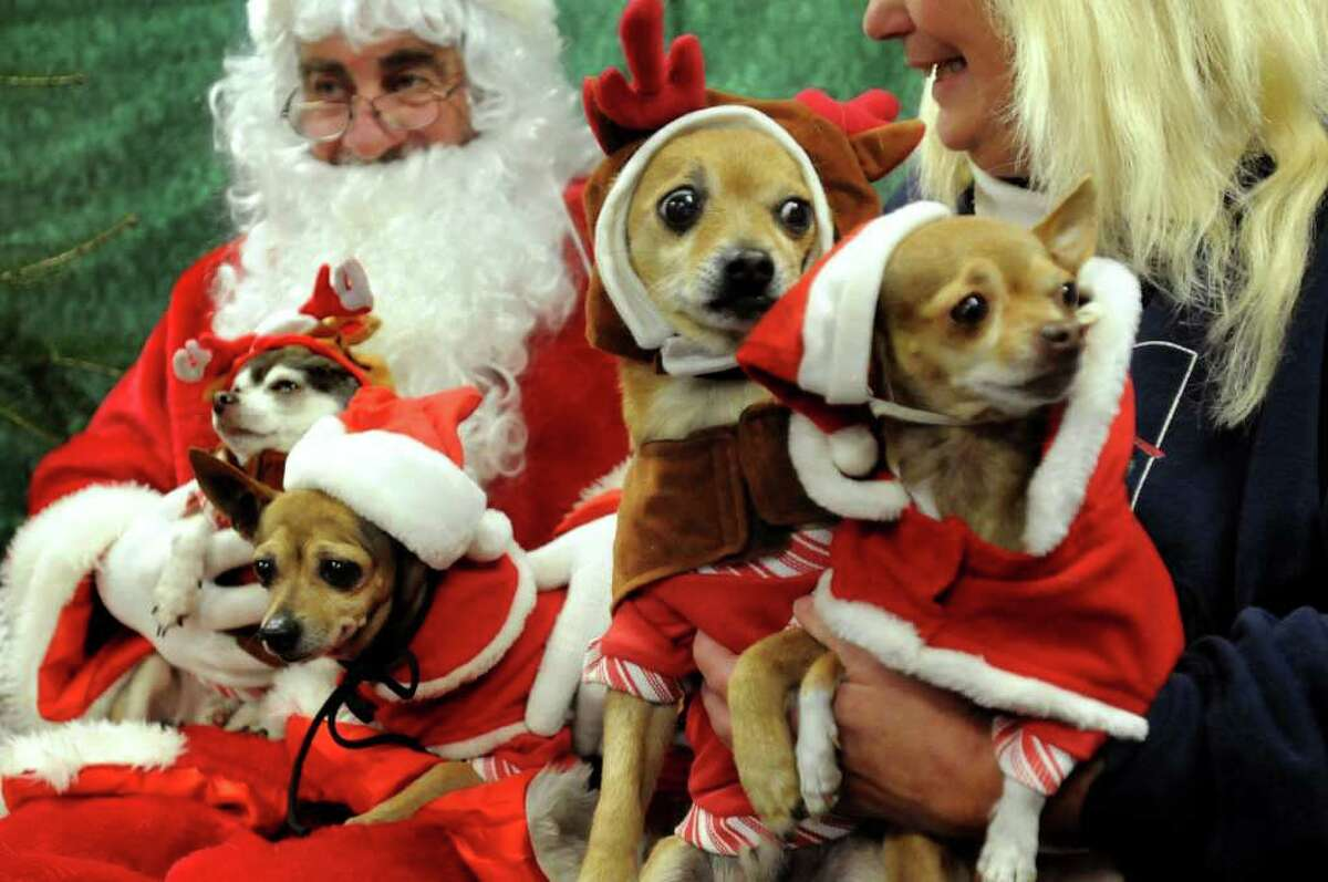 Laurie Crisafulli of Schenectady brings in her brood of Chihuahuas to have their picture taken with Santa Claus on Saturday, Dec. 4, 2010, at the Animal Protective Foundation in Glenville, N.Y. The dogs, from left, are Lucky, Penny, Happy Days and Spunky Joy. Proceeds from the pictures, raffle and bake sale will benefit the APF?s spay/neuter and adoption programs. (Cindy Schultz / Times Union)