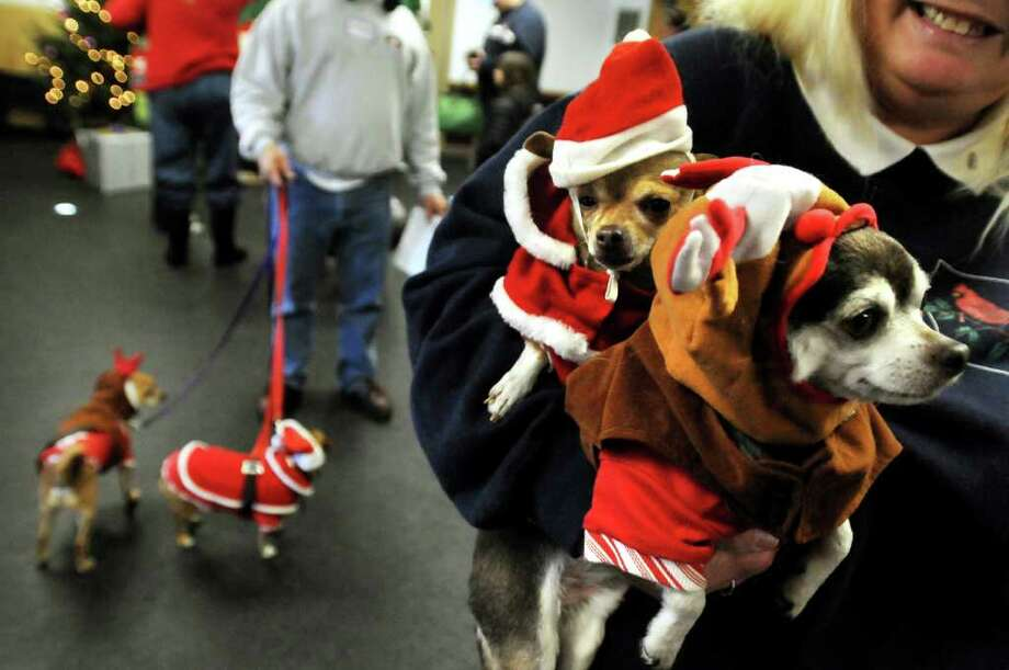 Laurie Crisafulli of Schenectady holds Lucky, right, and Spunky Joy as she brings in her four Chihuahuas to have their picture taken with Santa Claus on Saturday, Dec. 4, 2010, at the Animal Protective Foundation in Glenville, N.Y.  Proceeds from the pictures, raffle and bake sale will benefit the APF?s spay/neuter and adoption programs. (Cindy Schultz / Times Union) Photo: Cindy Schultz