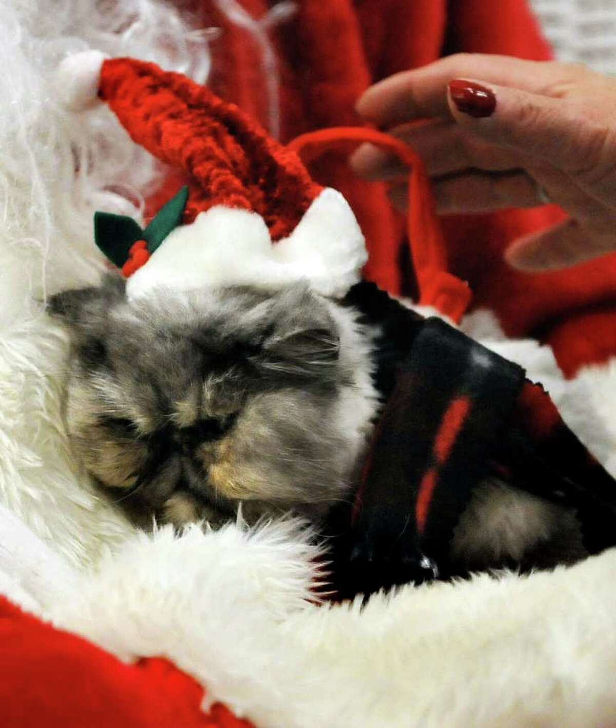 Daisy Doolittle, a rescued Persian owned by Debbie Zalondek of Schenectady, has her picture taken with Santa Claus on Saturday, Dec. 4, 2010, at the Animal Protective Foundation in Glenville, N.Y. Proceeds from the pictures, raffle and bake sale will benefit the APF?s spay/neuter and adoption programs. (Cindy Schultz / Times Union)