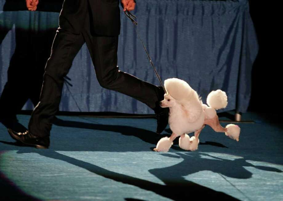 Seven, a 2 year old Poodle from Singapore, competes during Eukanuba World Challenge at the Tenth Annual AKC Eukanuba National Championship dog show on Sunday Dec. 5,2010 in Long Beach, Calif. (AP Photo/Richard Vogel) Photo: Richard Vogel