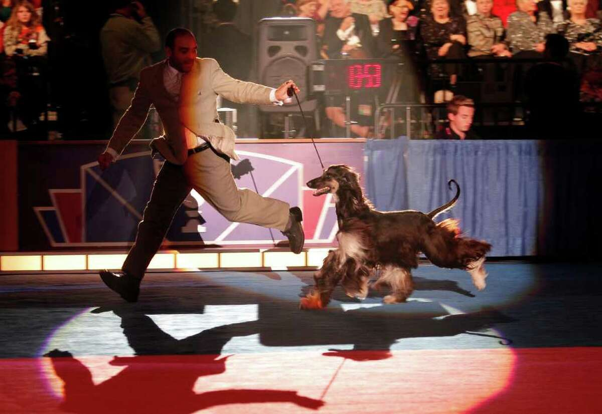 An Afghan Hound from Chile named Zvram Bint Rasm Von Haussman competes during Eukanuba World Challenge at the Tenth Annual AKC Eukanuba National Championship dog show on Sunday Dec. 5,2010 in Long Beach, Calif. (AP Photo/Richard Vogel)