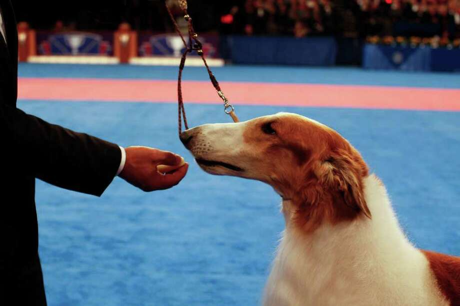 A Borzoi named Sunburst Huntsman At Mechta,from Japan, takes a treat from his handler during Eukanuba World Challenge at the Tenth Annual AKC Eukanuba National Championship dog show on Sunday Dec. 5,2010 in Long Beach, Calif. (AP Photo/Richard Vogel) Photo: Richard Vogel