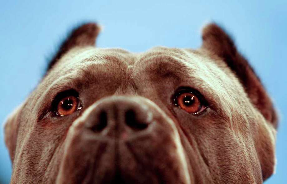 An Italian Cane Corsoi Mastif , named Cirino, watches as he competes at the Tenth Annual AKC Eukanuba National Championship dog show on Sunday Dec. 5,2010 in Long Beach, Calif. (AP Photo/Richard Vogel) Photo: Richard Vogel