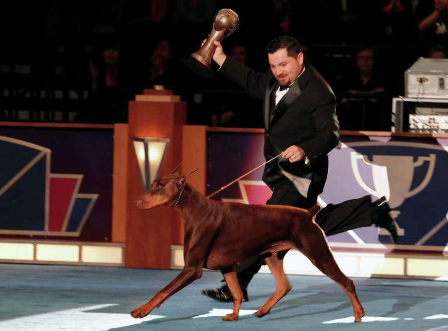 Winner of the Eukanuba World Challenge, Alex De Akido San, a 5 year old Doberman Pinscher from Argentina takes a victory run during the Tenth Annual AKC Eukanuba National Championship dog show on Sunday Dec. 5, 2010 in Long Beach, Calif. (AP Photo/Richard Vogel) Photo: Richard Vogel