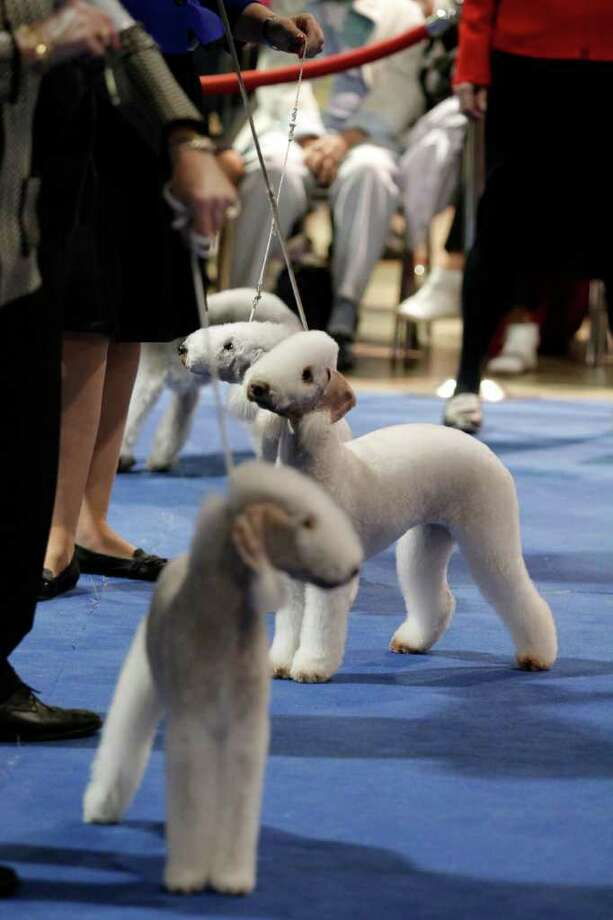 "Bedlington terriers compete during the ""Best in Breed"" competition during the 10th annual AKC/Eukanuba National Championship dog show on Sunday, Dec. 5, 2010, in Long Beach, Calif. (AP Photo/Richard Vogel) Photo: Richard Vogel"