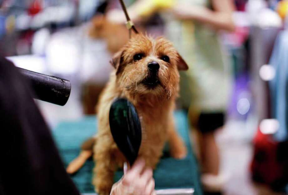 "Violet, a Norfolk Terrier from Union Grove, Wis., is groomed before competing in the ""Best in Breed"" competition at the 10th annual AKC/Eukanuba National Championship dog show on Sunday, Dec. 5, 2010, in Long Beach, Calif. (AP Photo/Richard Vogel) Photo: Richard Vogel"