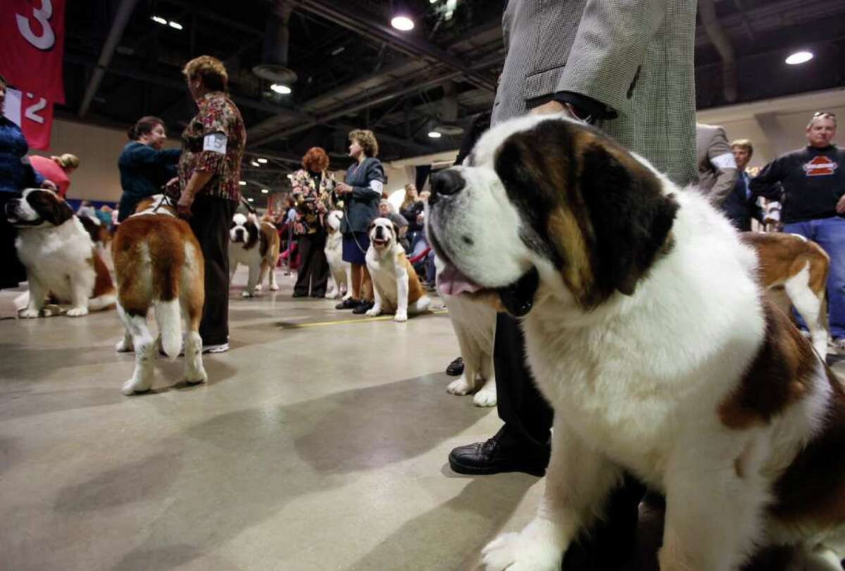 Saint Bernard named Trooper, 4, from Reno, Nev., prepares to compete in the best in breed competition at the Tenth Annual AKC Eukanuba National Championship dog show on Sunday, Dec. 5, 2010, in Long Beach, Calif. (AP Photo/Richard Vogel)